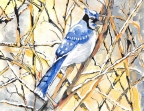 Blue Jay by Pamela Morgan