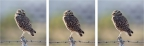 Owl On A Fence Post Series 2 Tryiptych by A O Tucker