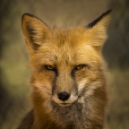 Eyes Of The Red Fox by A O Tucker