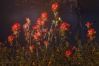 Indian Paintbrush by Ruby Del Angel