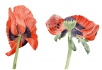 Papaver orientale III,IV by Vanessa Pasqualetto