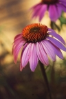 Purple Coneflower by Ruby Del Angel