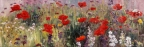 Wild Spring Poppies by John Horejs