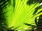 Boca Palm Frond by David Coblitz - The St. Louis Artographer