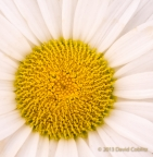Shasta Daisy by David Coblitz - The St. Louis Artographer